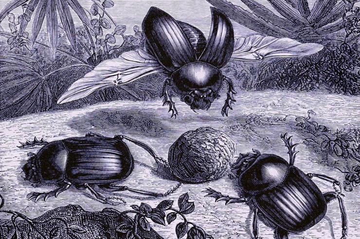 dung_beetles