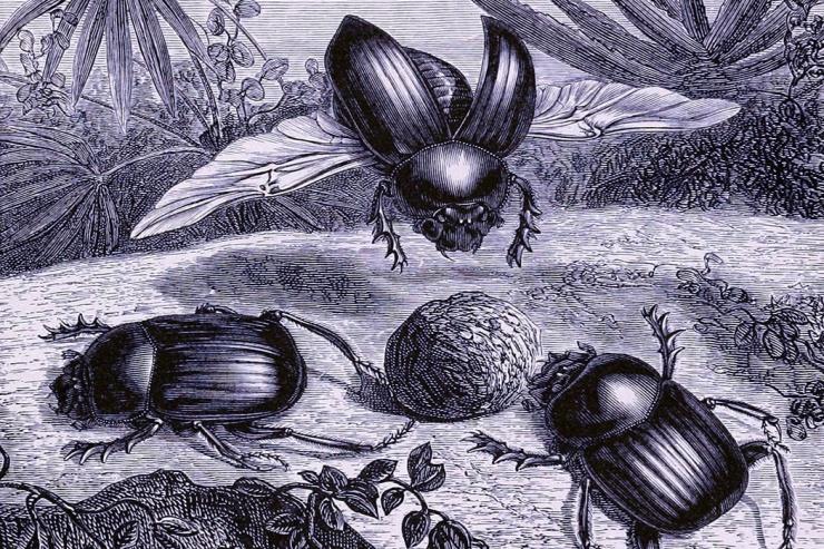 dung_beetles