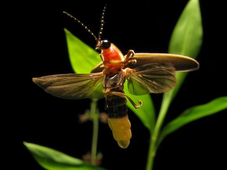 firefly_terrypriest