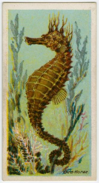 "George Arents Collection, The New York Public Library. ""Sea-horse (Hippocampus)."" The New York Public Library Digital Collections."