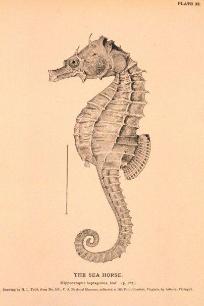 Sea animals, engravings. Seahorse. found at vintageprintable.com
