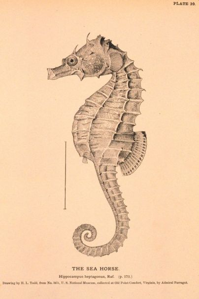 Sea animals, engravings. Seahorse. found at vintageprintable.com